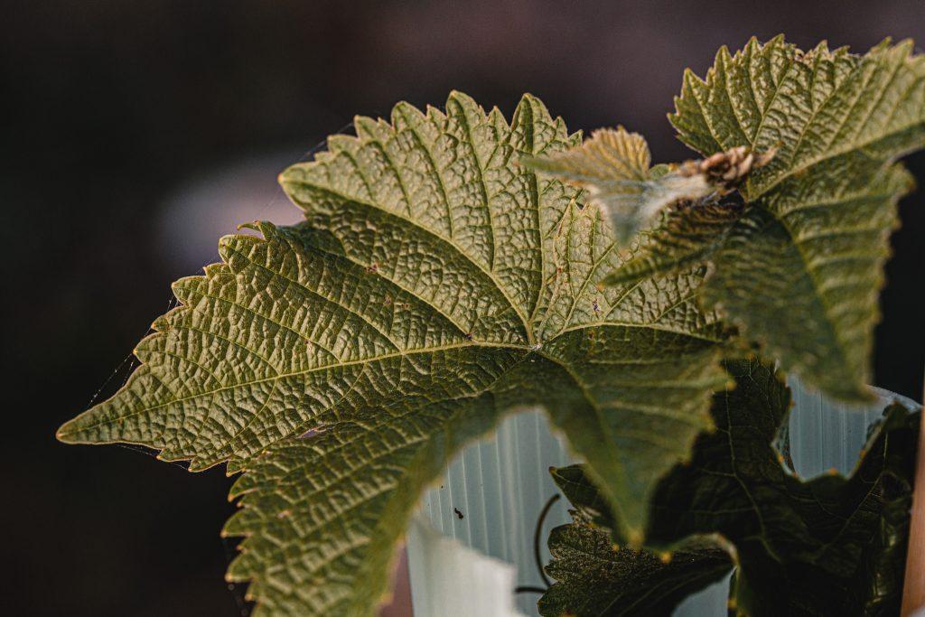 Wolds Wine Estate Vine 2020