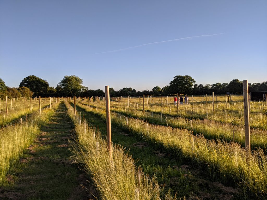 Evening Strolls in the Vineyard